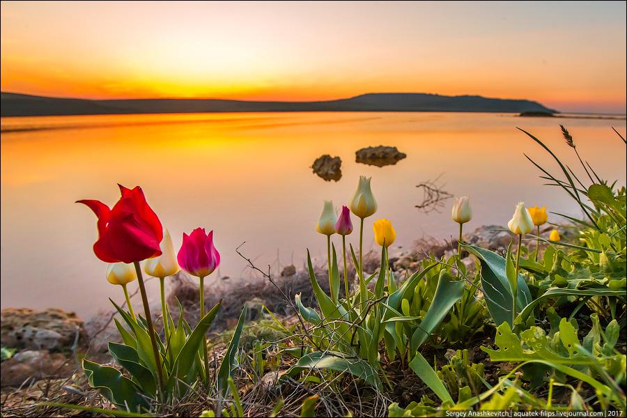 Цветение диких тюльпанов в Крыму. Апрель 2015.